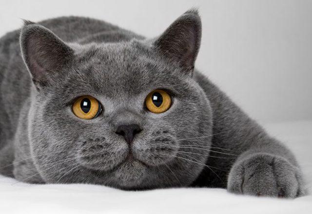 Самые опасные кошки в мире: Топ-10