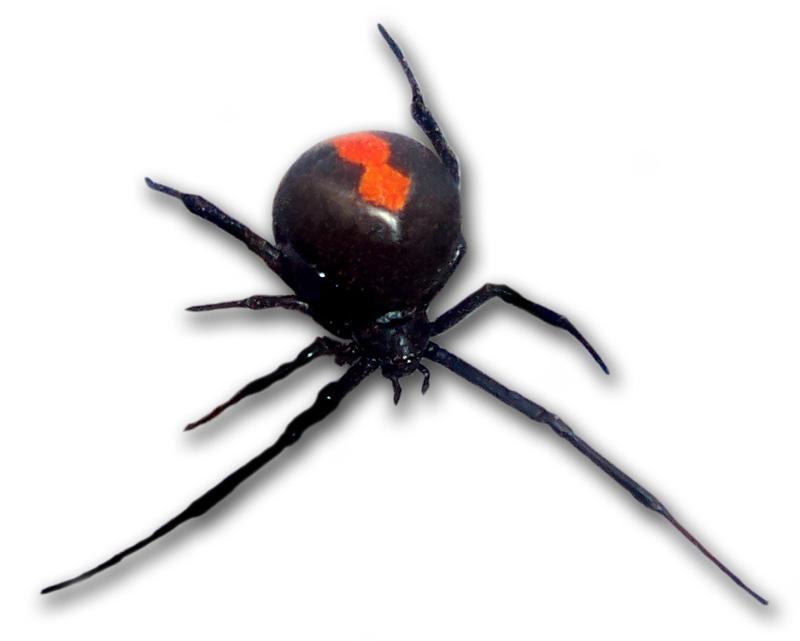Топ-10 самых опасных пауков в мире